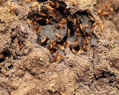 Exploring the Diet of Termites