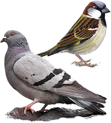 Pigeon and ?Finch?