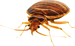 bed bug image of a single bed bug.