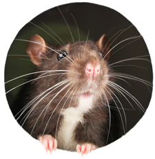 rat looking through hole showing head and whiskers.