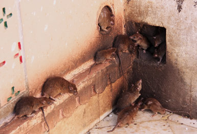 Rats gathered around a hole in a wall and comming out of the hole.