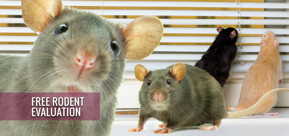 Image of rats looking at you with the text Free Rodent Evaluation overlayed on top.