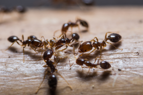 Spring Pests: Fire Ants and Spiders