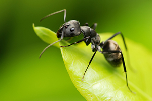 Watch for Carpenter Ants