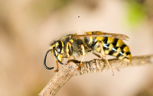Avoid Yellowjacket and Wasp Stings!