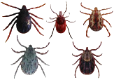 Ticks common in Oklahoma